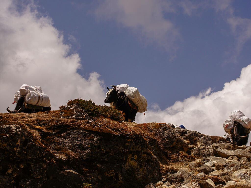 Яки, Гималаи