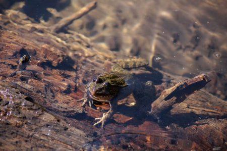 Лягушка в озере Малая Рица